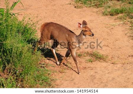 reedbuck african mammal wildlife south africa kruger national park nature savanna - stock photo