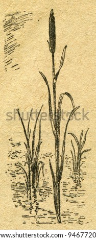 """reedmace - an illustration from the book """"In the wake of Robinson Crusoe"""", Moscow, USSR, 1946. Artist Petr Pastukhov - stock photo"""