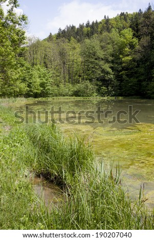 Reeds and grass grow long and tall in a freshwater pond, view on scum on a pond, green algae - stock photo