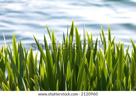 Reeds by the lake - stock photo