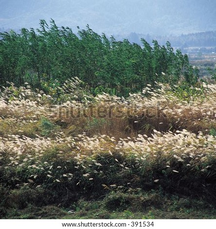 Reeds Field - stock photo