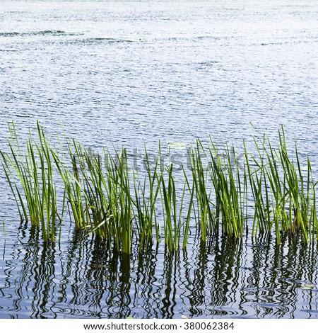 reeds growing at the lake - stock photo