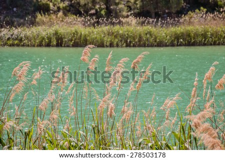 Reeds in a lake - stock photo