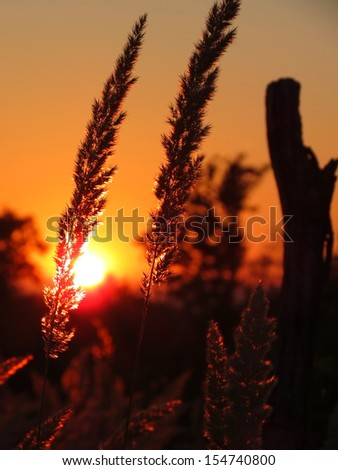 Reeds in beautiful sunset - stock photo