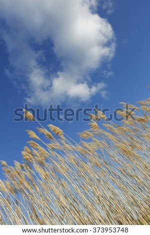 Reeds in diagonal line with beautiful blue and cloud background in vertical composition  - stock photo