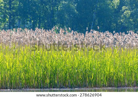 Reeds in the water edge in summer - stock photo