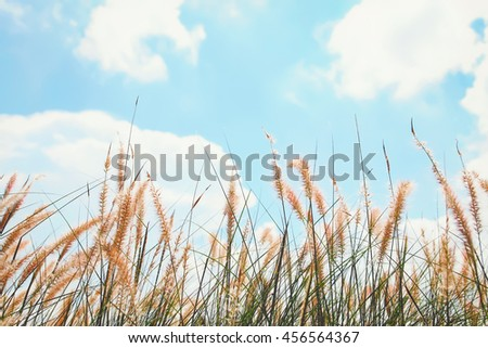 reeds of grass and blue sky background (retro color filter)