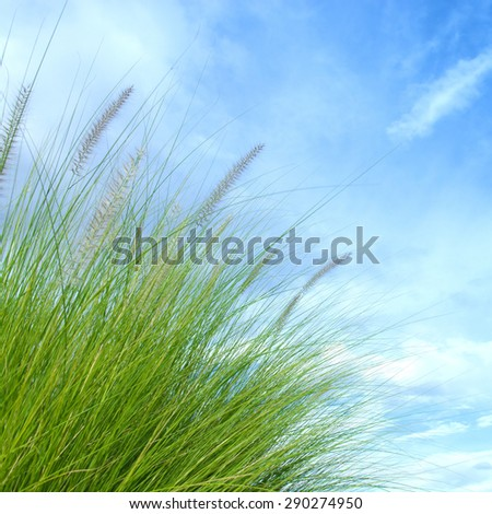 reeds of grass with blue sky background - stock photo