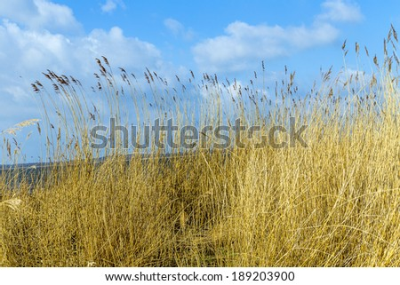 reeds of grass with clear blue sky - stock photo