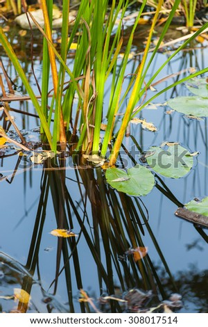 Reeds reflecting in the ponds clear blue water close up image - stock photo
