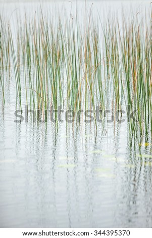 Reeds reflection in the water - stock photo