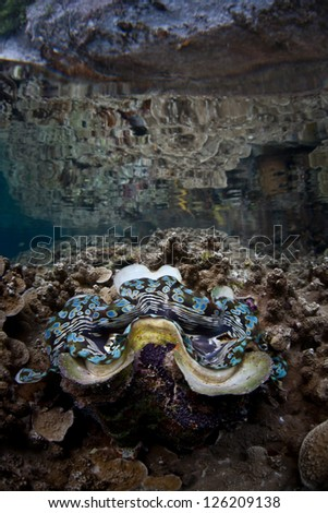 Reef-building corals and a giant clam (Tridacna squamosa ) grow in very shallow water within Palau's lagoon.  Surrounding islands protect the delicate corals from wave energy. - stock photo