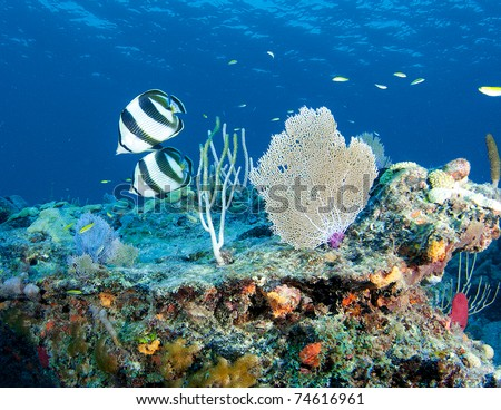Reef Composition with Banded Butterflyfish picture taken in south east Florida. - stock photo