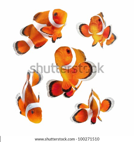 reef fish , clown fish or anemone fish isolated on white background - stock photo