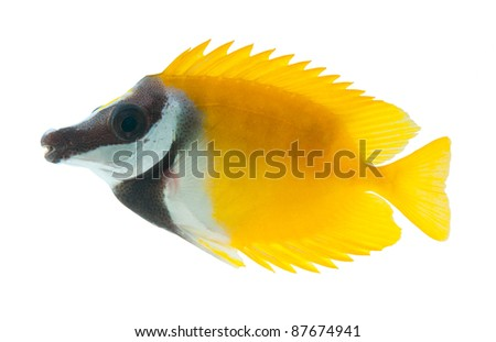 reef fish, foxface tabbitfish, isolated on white background