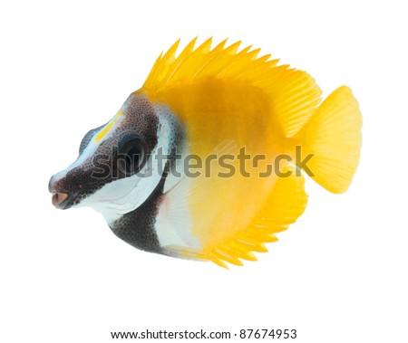 reef fish, foxface tabbitfish, isolated on white background - stock photo