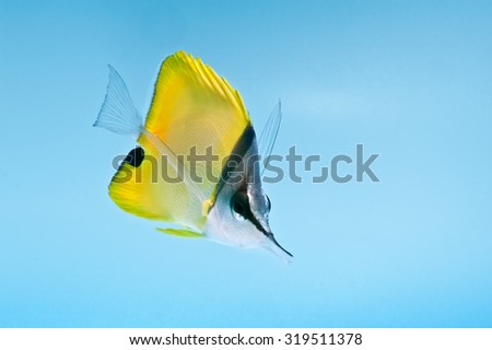 reef fish, marine fish, yellow longnose butterflyfish isolated on blue background  - stock photo