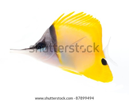 reef fish, marine fish, yellow longnose butterflyfish isolated on white background
