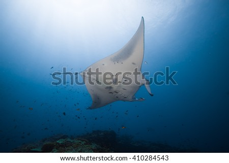 Reef manta ray, Manta birostris, on a cleaning station