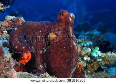 Reef octopus (Octopus cyanea) underwater in the tropical coral reef - stock photo
