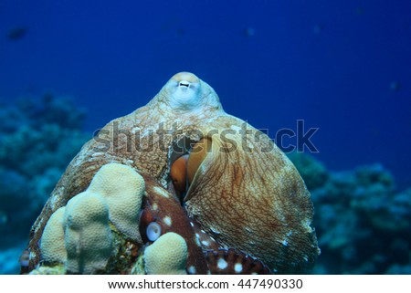 Reef octopus (Octopus cyanea) underwater in the tropical coral reef of the red sea
