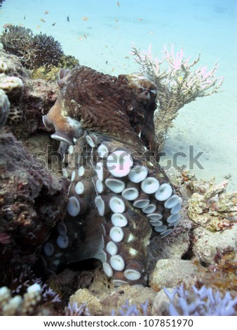 Reef Octopus (Octopus cyaneus) - stock photo