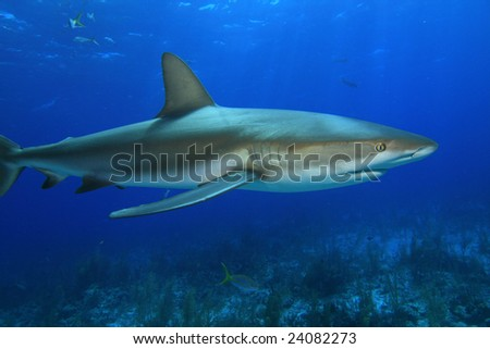 Reef Shark and Coral Reef