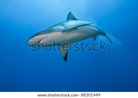 Reef Shark (Carcharhinus perezii) hunting over a tropical coral reef off the island of Roatan, Honduras. - stock photo