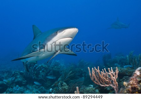 Reef Shark (Carcharhinus perezii) with a fish hook in it's mouth and an attached Whitefin Sharksucker (Echeneis neucratoides) hunting over a tropical coral reef off the island of Roatan, Honduras.