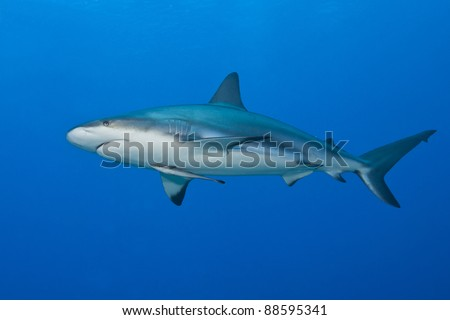 Reef Shark (Carcharhinus perezii) with an attached Whitefin Sharksucker (Echeneis neucratoides) hunting over a tropical coral reef off the island of Roatan, Honduras. - stock photo