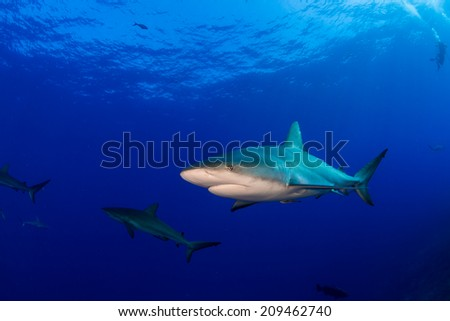 Reef shark in clear blue water - stock photo
