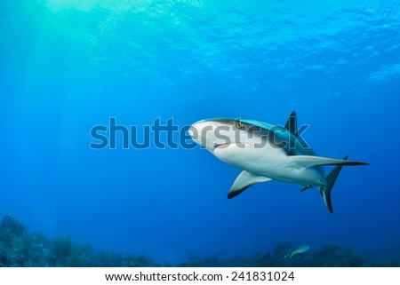 Reef Shark in the blue - stock photo
