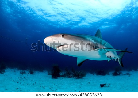 Reef shark swimming near the sea bed in a tropical ocean