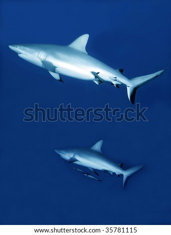 reef sharks with cleaner fish