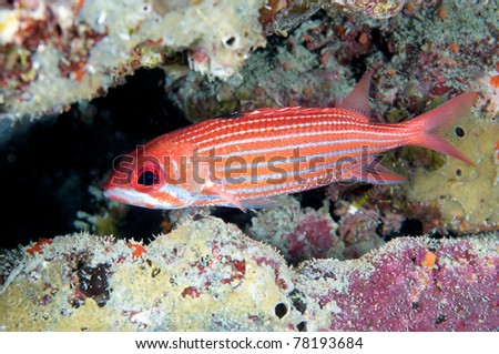 Reef Squirrelfish hovering in sheltered area of reef. - stock photo