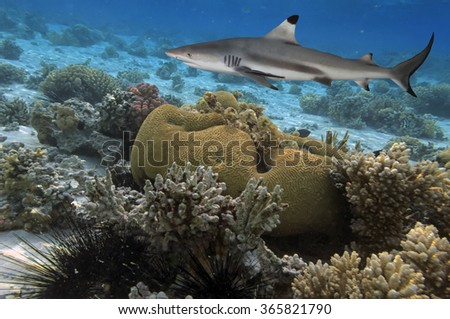 Reef with a variety of hard and soft corals and shark in the background - stock photo