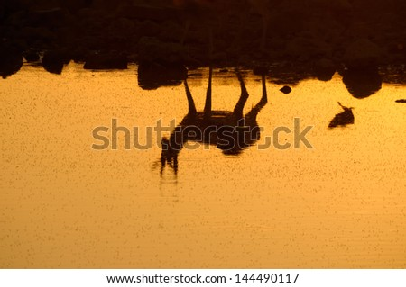 Reflection of a Springbok at sunset  in the Etosha National Park in Namibia