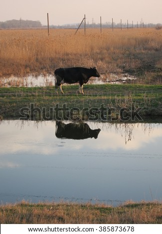 Reflection of cow in the river walking at sunset from pastures - stock photo