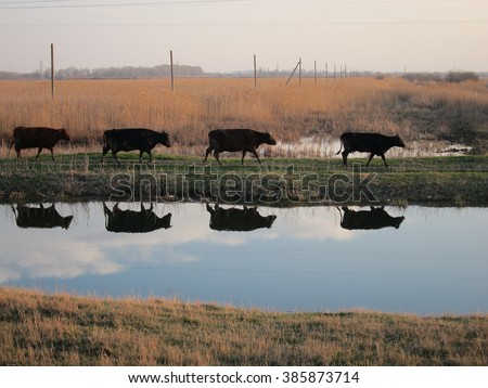 Reflection of four cows in the river walking at sunset from pastures - stock photo