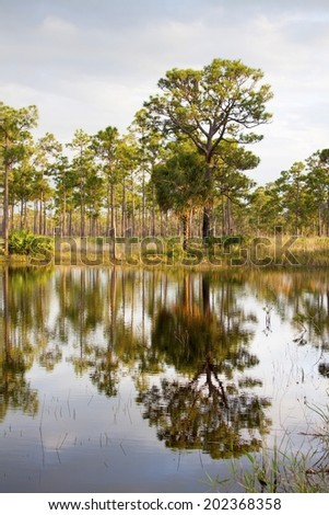 reflection of the tropical trees in the swamp of everglades - stock photo