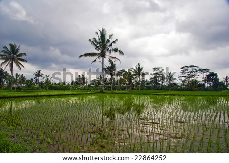 Reflections of palms in rice terrace. Bali. Indonesia