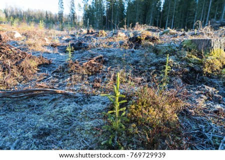Reforestation with growing spruce seedlings on a frozen ground