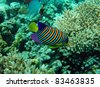 Regal angel fish of the Red Sea coral reef - stock photo