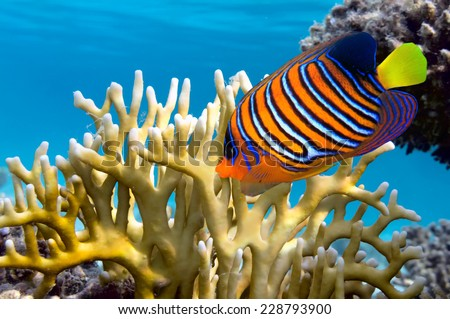 Regal Angelfish and Millepora fire coral. Red Sea. Egypt.  - stock photo
