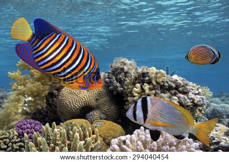Regal Angelfish and Millepora fire coral. Red Sea. Egypt - stock photo