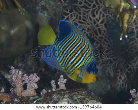 Regal angelfish in red sea