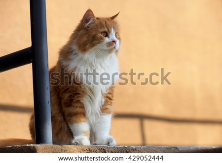 Regal Bi Color Orange Long Haired Doll Face Traditional Persian Cat with Orange Eyes Standing on Ledge Looking to the Side - stock photo
