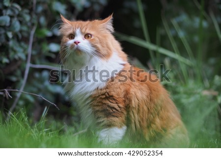 Regal Orange Long Haired Bi Color Doll Face Traditional Persian Cat Sitting in Grass  - stock photo