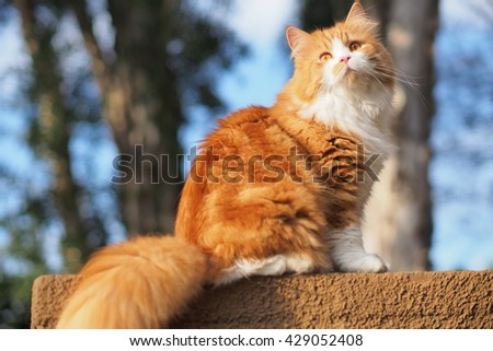 Regal Orange Long Haired Bi Color Doll Face Traditional Persian Cat Sitting on Ledge with Trees in Background  - stock photo