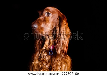 Regal Red Setter
